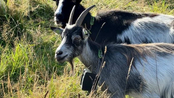 Goats deployed in unique conservation project in Howth